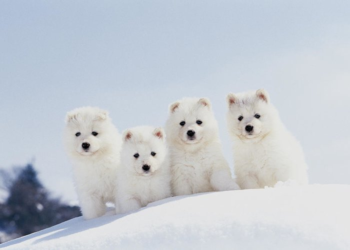 Feb0514 Greeting Card featuring the photograph Puppies In Snow by Mitsuyoshi Tatematsu