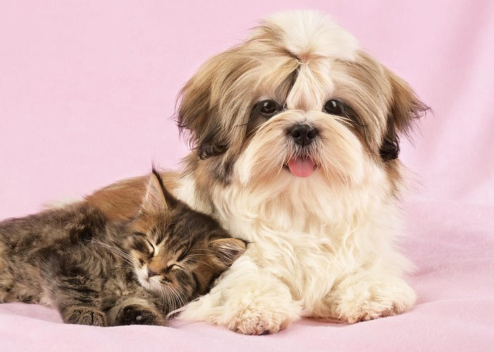 Puppy Puppies Horizontal Cats And Dogs Sitting Multiple Shih-tzu Greeting Card featuring the photograph Puppy And Kitten by Greg Cuddiford