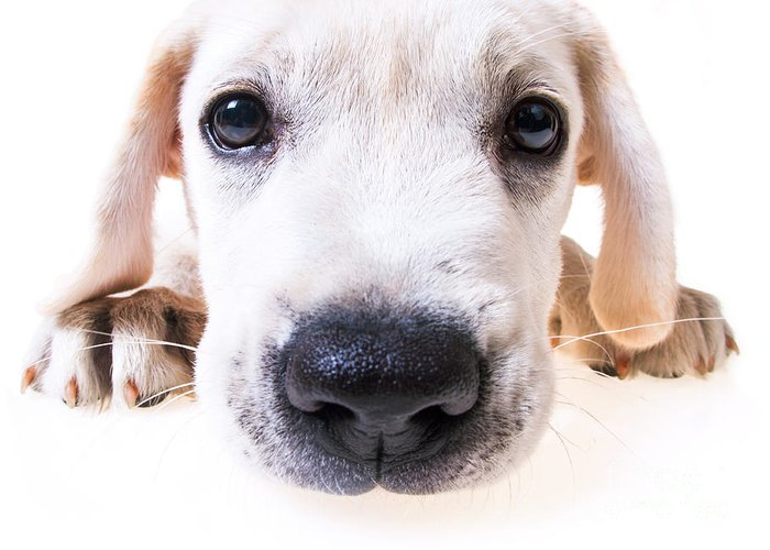 Puppy Greeting Card featuring the photograph Puppy Face by Diane Diederich