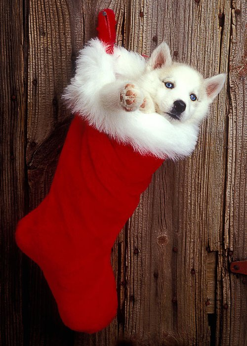 Puppy Greeting Card featuring the photograph Puppy In Christmas Stocking by Garry Gay