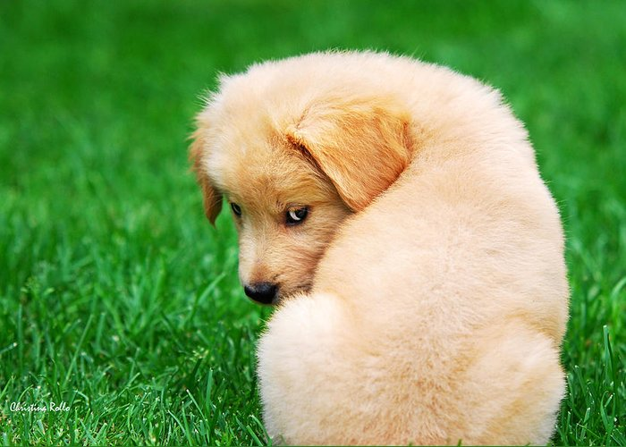Golden Retriever Greeting Card featuring the photograph Puppy Love by Christina Rollo
