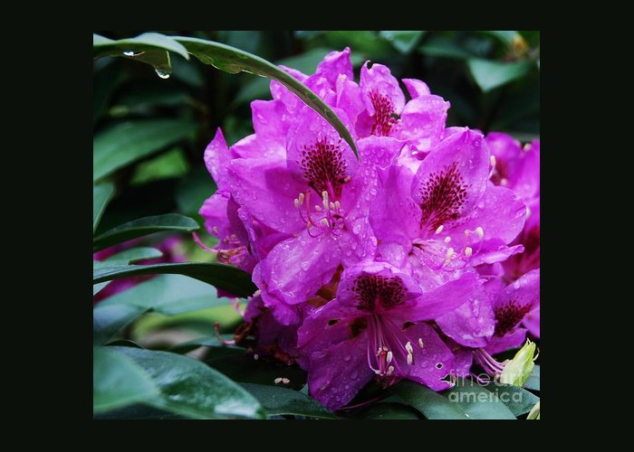 Flower Azalea Rain Nature Purple Petals Purple Blossom Spring Photography Purple Azalea Anthropomorphic Pareidolia Dark Green Leaves Floral Art Greeting Card Birthday Card Card For A Yorkie Owner Photography Available On Phone Cases Throw Pillows Duvet Covers Shower Curtains Tote Bags Weekender Tot Bags Greeting Card featuring the photograph Purple Azalea by Marcus Dagan