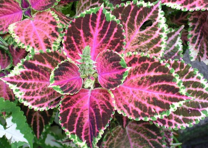 Plant Greeting Card featuring the photograph Purple Coleus With Seeds by Dusty Reed
