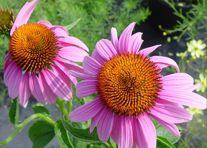 Flower Greeting Card featuring the photograph Purple Coneflowers by Suzanne Gaff