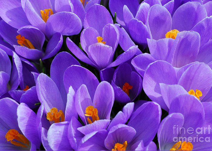 Crocus Greeting Card featuring the photograph Purple Crocus by Elena Elisseeva