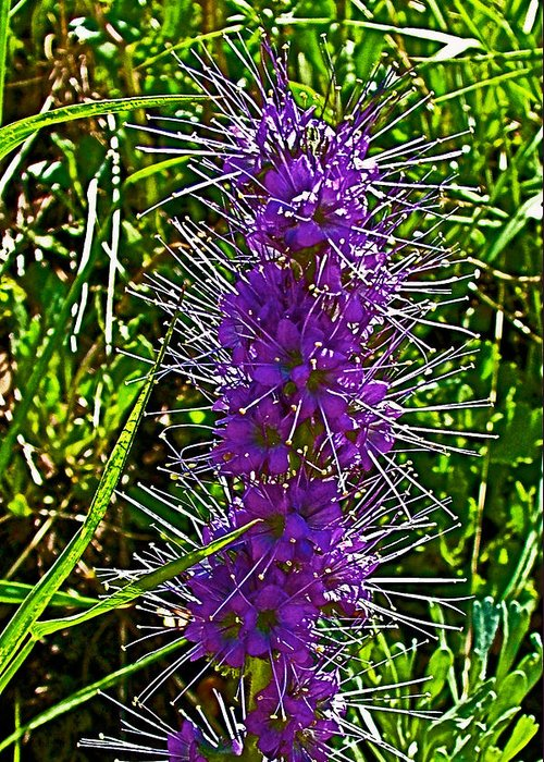 Purple Fringe On Bald Mountain In Ketchum Greeting Card featuring the photograph Purple Fringe On Bald Mountain In Ketchum-idaho by Ruth Hager