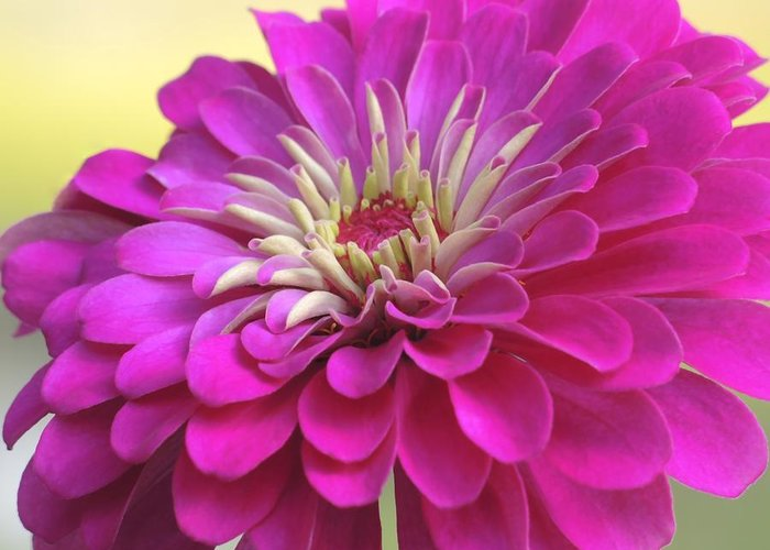 Zinnia Greeting Card featuring the photograph Purple Giant Zinnia by Brenda Parent