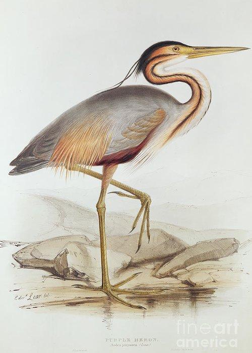 Ardea Purpurea Greeting Card featuring the painting Purple Heron by Edward Lear