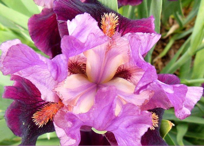 Iris Greeting Card featuring the photograph Purple Iris by Virginia Forbes