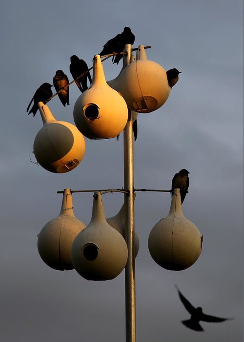 Purple Martins Greeting Card featuring the photograph Purple Martin Twilight by Karen Wiles