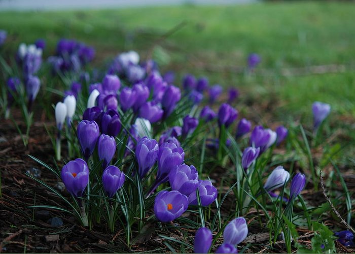 Crocus Greeting Card featuring the photograph Purple Melody by Kathy Paynter