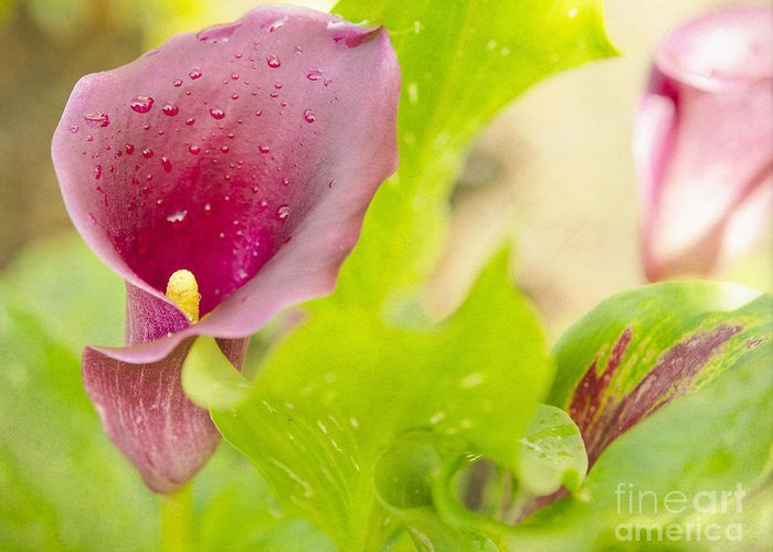 Purple Greeting Card featuring the photograph Purple Mini Calla Lily On A Sea Of Green by MaryJane Armstrong