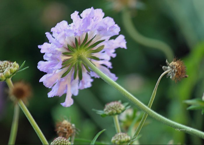 Flower Greeting Card featuring the photograph Purple Pincushion Flower by Suzanne Gaff