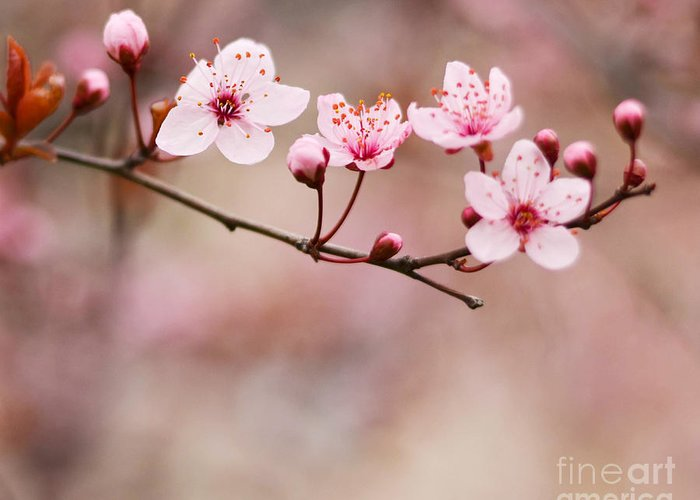 Blossoming Greeting Card featuring the photograph Purple Plum Flower by Aleksandar Mijatovic