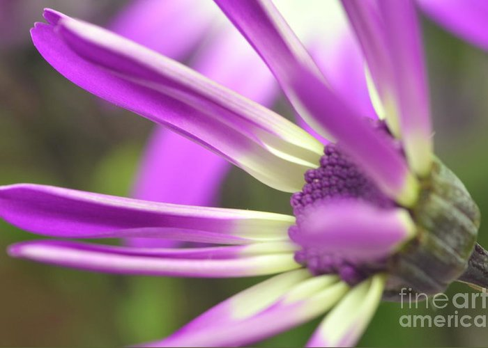 Senetti Greeting Card featuring the photograph Purple Senetti I by Cate Schafer