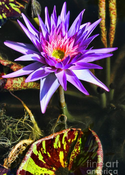 Lily Greeting Card featuring the photograph Purple Star Water Lily By Diana Sainz by Diana Raquel Sainz