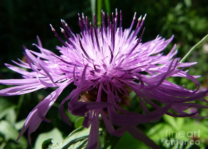 Purple Thistle Greeting Card featuring the photograph Purple Thistle by Christine Stack