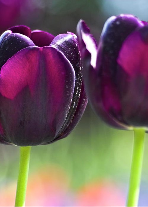 Tulip Greeting Card featuring the photograph Purple Tulips by Heiko Koehrer-Wagner