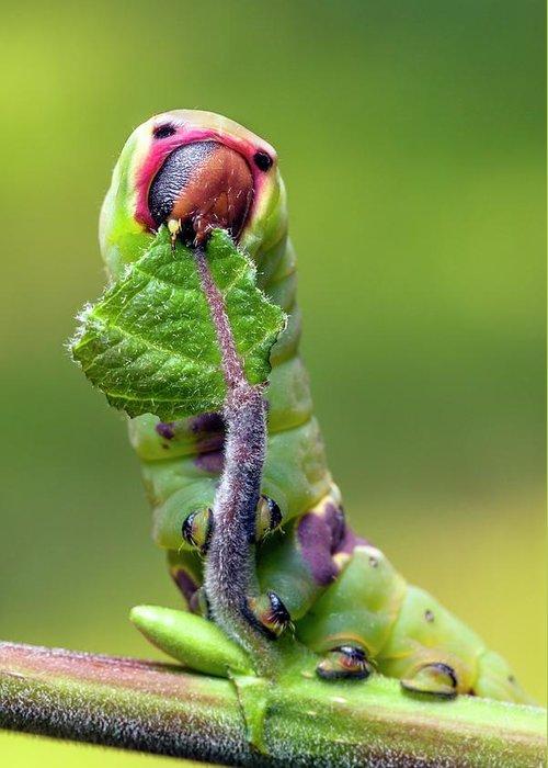 Puss Caterpillar Greeting Cards