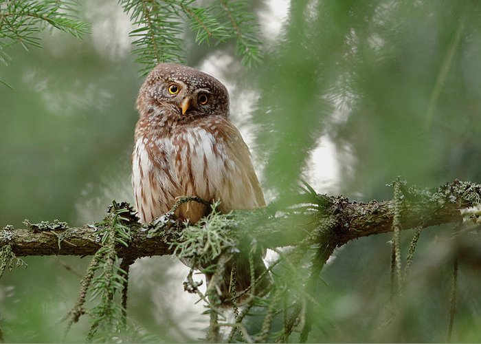 Owl Greeting Card featuring the photograph Pygmy Owl by Assaf Gavra