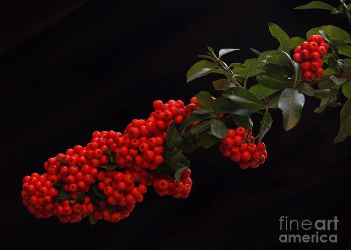 Winter Greeting Card featuring the photograph Pyracantha Berries On Black - Pennsylvania by Anna Lisa Yoder