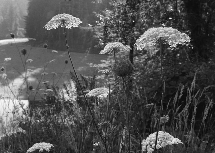 black And White Greeting Card featuring the photograph Queen Anne's Lace by Bernard Barcos