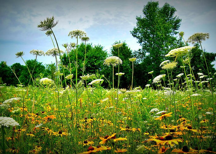 Queen Ann Lace Greeting Card featuring the photograph Queen Annes Lace Of The Butterfly Gardens Of Wisconsin by Carol Toepke