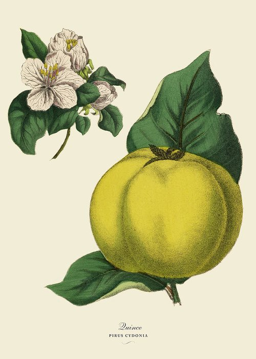 1880-1889 Greeting Card featuring the digital art Quince Fruit Tree, Victorian Botanical by Bauhaus1000