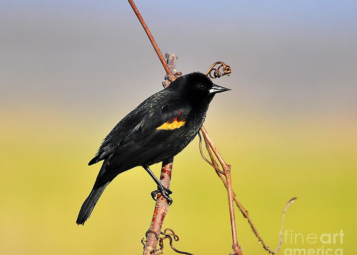 Red Winged Blackbird Greeting Card featuring the photograph Radiant Red-winged by Al Powell Photography USA