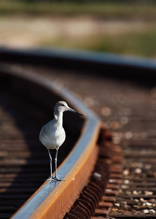 Willet Greeting Card featuring the photograph Railroaded Willet by Andrew McInnes