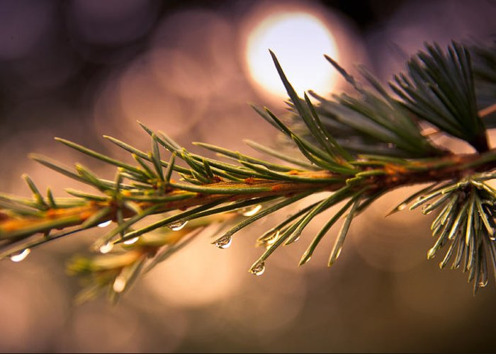 Loriental Greeting Card featuring the photograph Rain Droplets On Pine Needles by Loriental Photography