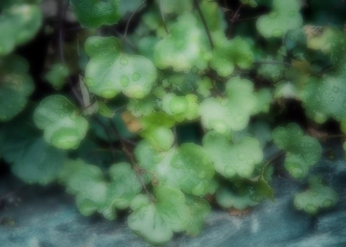 Ivy Greeting Card featuring the photograph Rain On The Ivy by Brenda Hackett