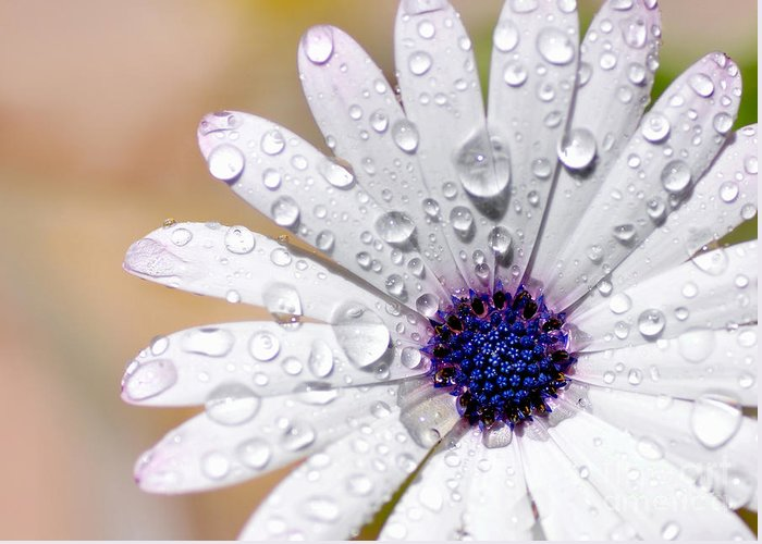 Photography Greeting Card featuring the photograph Rain Soaked Daisy by Kaye Menner