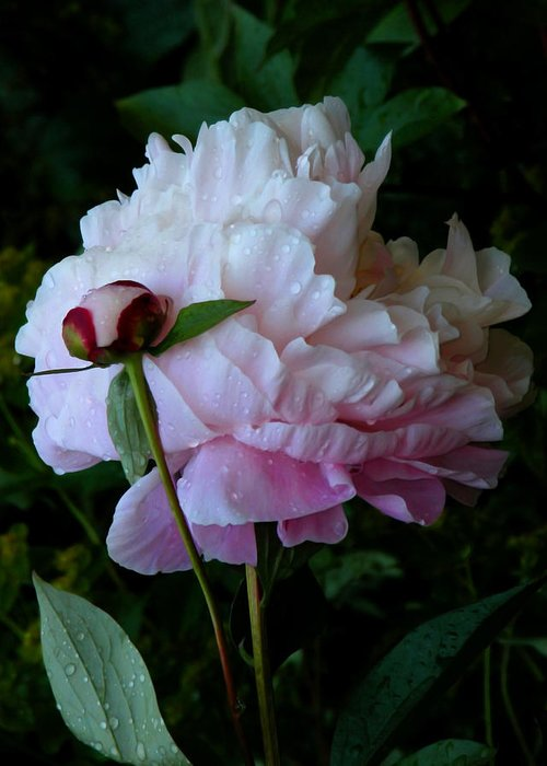 Peony Greeting Card featuring the photograph Rain-soaked Peonies by Rona Black