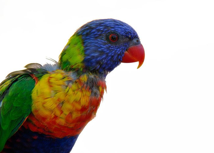 Psittacidae Greeting Card featuring the photograph Rainbow Lorikeet by Lana Trussell