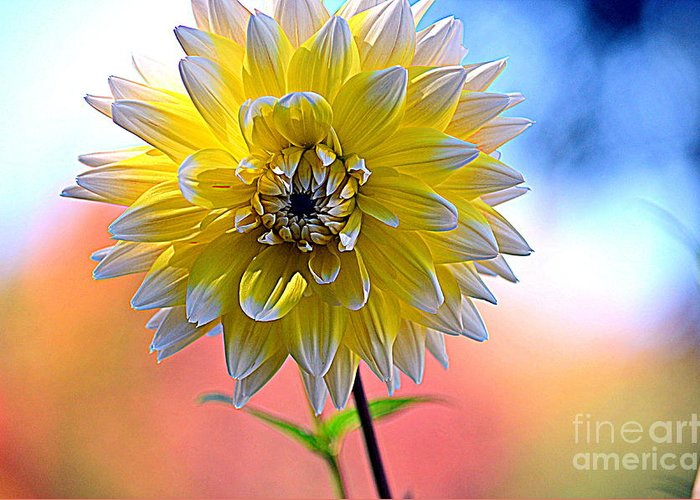 Dahlia Greeting Card featuring the photograph Colors Of The Rainbow by Jaunine Roberts