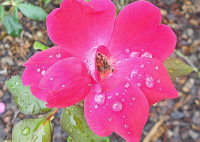 Raindrops 2 Wild Roses Series 10 4 2012 Photograph By Dianna Jackson