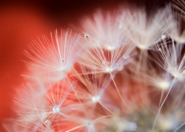 Raindrops Greeting Card featuring the photograph Raindrops On Dandelion Red by Marianna Mills