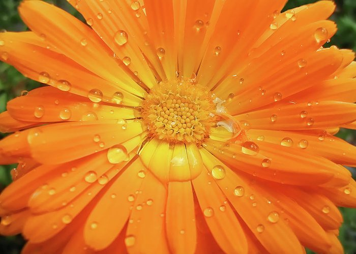 Calendula Greeting Card featuring the photograph Raindrops On Orange Daisy Flower by Jennie Marie Schell