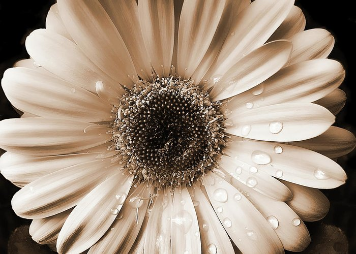 Daisy Greeting Card featuring the photograph Raindrops On Gerber Daisy Sepia by Jennie Marie Schell