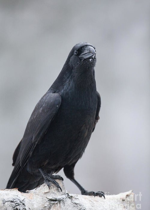 Corvus Corax Greeting Card featuring the photograph Raven On A Birch Log by Tim Grams
