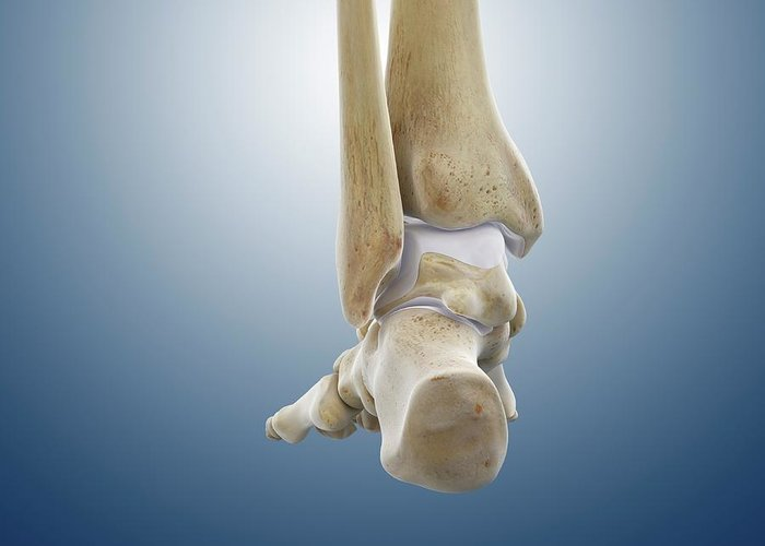 Rear Foot And Ankle Bones Greeting Card for Sale by Springer Medizin