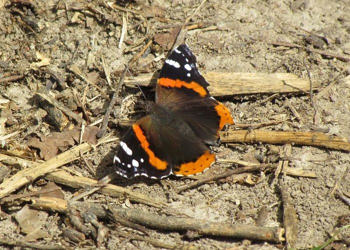 Butteriflies Greeting Card featuring the photograph Red Admiral by Eric Noa