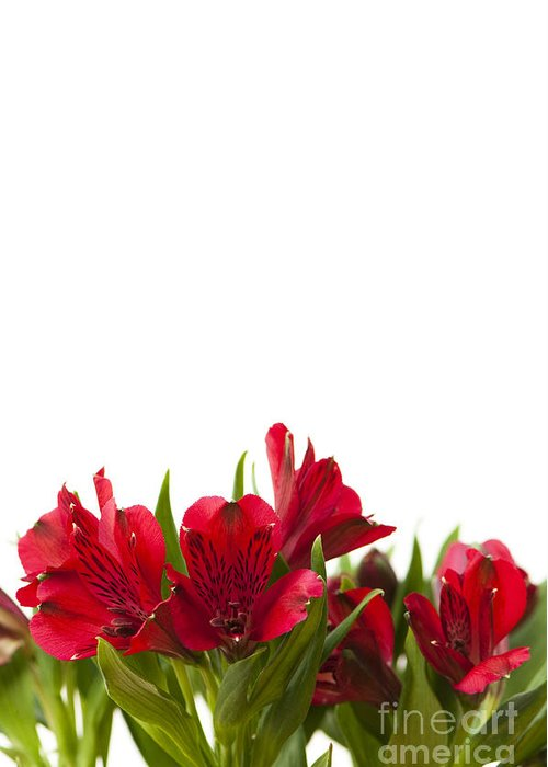 Alstroemeria Greeting Card featuring the photograph Red Alstroemeria by Anne Gilbert
