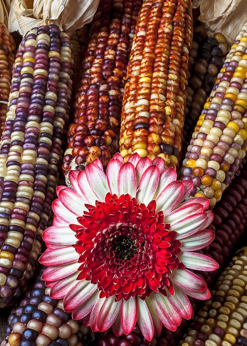 Indian Greeting Card featuring the photograph Red And White Mum With Indian Corn by Garry Gay