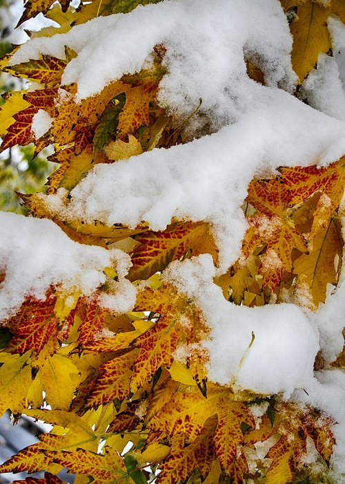 Tree Greeting Card featuring the photograph Red Autumn Maple Leaves With Fresh Fallen Snow by James BO Insogna