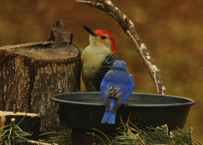 Red-bellied Woodpecker Greeting Card featuring the photograph Red- Bellied Woodpecker by William Fox