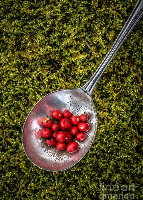 Moss Greeting Card featuring the photograph Red Berries Silver Spoon Moss by Edward Fielding