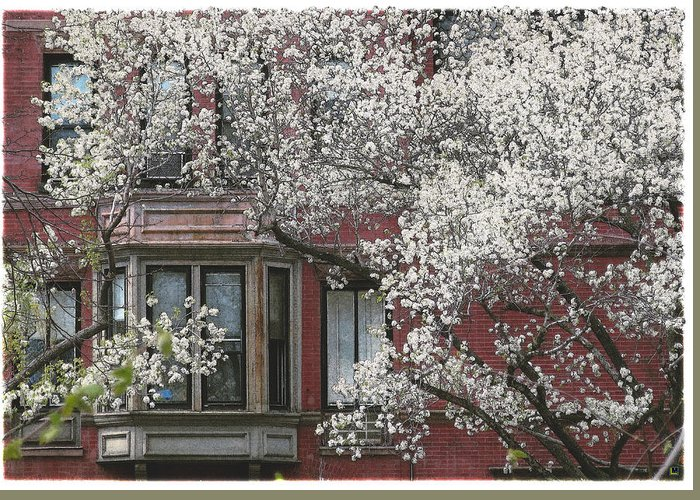 Bradford Pear Tree Greeting Card featuring the photograph Red Building White Buds by Muriel Levison Goodwin