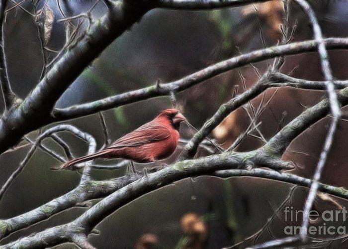 Cardinal Greeting Card featuring the photograph Red Cardinal by Douglas Barnard